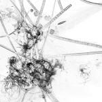 Germe 3 – série « H2O », dessin à l'encre sur images de microscopie obtenues par microscopie de fluorescence et contraste de phase ; transfiguration et dévoilement de l'intimité cellulaire d'une goute d'eau, impression sur verre, dimensions variables, 2016.
